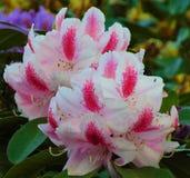 Fotos macro de flores bonitas com as pétalas da matiz cor-de-rosa no ramo de um arbusto do rododendro Imagens de Stock