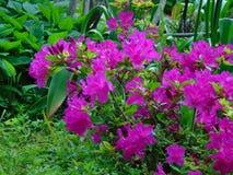 Fotos macro de flores bonitas com as pétalas da matiz roxa no ramo de um arbusto do rododendro Imagem de Stock Royalty Free
