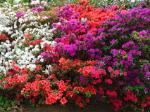 Fotos macro de flores bonitas com as pétalas de cores roxas, cor-de-rosa, brancas nos ramos de Bush do rododendro Foto de Stock Royalty Free