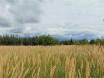 Fotos mit sonnigem Tag des Landschaftshintergrundsommers mit trockenem goldenem Gras und dichten Dickichten von Büschen des wilde Lizenzfreie Stockfotos