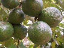 Fotos naturales de la fruta srilanquesa del orenge Foto de archivo