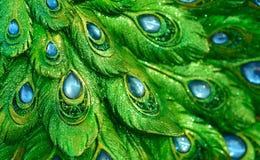 Fotos nur ein exotischer Blick des Statuenpfaupfau-Musters Lizenzfreies Stockbild