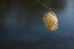 Fotos próximas do rio do casulo do inseto no fundo da água fotos de stock