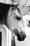 Fotos preto e branco, close-up, um cavalo branco no prado Fotos de Stock