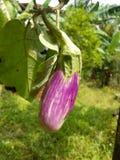 Fotos vegetales del brinjal dulce de Sri Lanka Imagen de archivo libre de regalías