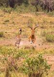 Fotoserie: Gepardjakt för stor impala Den nionde episoden kenya mara masai Arkivfoton
