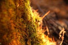 Fotoskogbakgrund Höstskogkull, mossor och visare Royaltyfri Bild