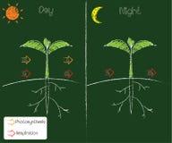 Fotossíntese e respiração ilustração royalty free