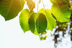 Fotossíntese fresca da natureza do verde da folha de Bodhi imagens de stock