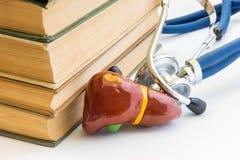 Fotostudie der Leber und der Gallenblase, es Anatomie, Struktur, Funktion in der Medizinschule, College, Universität Form der Leb Stockfotos