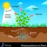 Fotosyntes i växt stock illustrationer