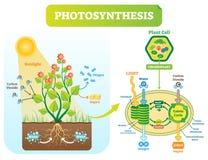 Fotosynteza biologiczny wektorowy ilustracyjny diagram z plan komórki planem royalty ilustracja