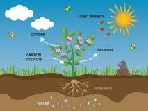 Fotosynthese stock illustratie