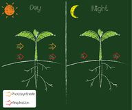 Fotosynthese en ademhaling royalty-vrije illustratie