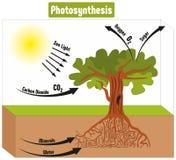 Fotosynthese-Prozess im Betriebsdiagramm Stockfotografie