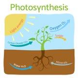 Fotosynthesediagramm Schematische Vektorillustration des fotosynthetischen Prozesses Lizenzfreie Stockfotografie
