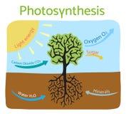 Fotosyntheseprozeßdiagramm Schematische Vektorillustration Stockfoto