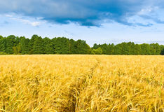 Fotpath in a barley field Royalty Free Stock Images