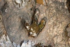 Fotspår av dinosauriecarnotaurusen på den jordnear strömmen på den Phu Faek medborgaren Forest Park, Kalasin, Thailand Loggat in  Royaltyfria Foton