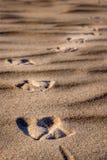 Fotspår av en fågel i sand arkivfoto