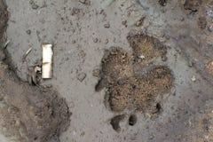 Fotspår av hunden eller vargen på våt smuts Bredvid avtrycken ligger t Royaltyfri Bild