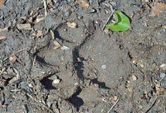 Fotspår av tiger 5 Royaltyfri Foto