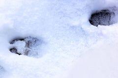 Fotspår i snön av en vildsvin, Holland arkivfoton