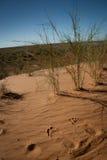 Fotspår på en röd sandig dyn i Kalaharien Royaltyfri Bild