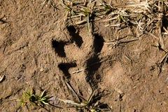 Fotspåret av en stor hund` s tafsar på jorden Arkivbilder