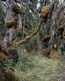 Fotvandra de Rwenzori bergen, Uganda arkivbild