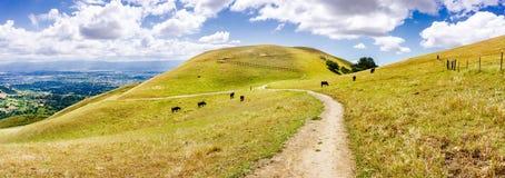 Fotvandra slinga till och med kullarna av södra San Francisco Bay område; nötkreatur som betar på backarna, San Jose som är synli royaltyfri foto