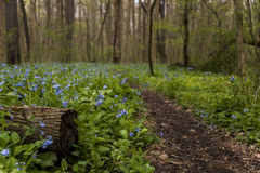 Fotvandra slingan och Virginia Bluebell Wildflowers - Ohio Arkivfoto