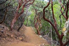 Fotvandra slingan till och med manzanitaträd Fotografering för Bildbyråer