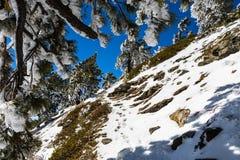 Fotvandra till överkanten av monteringen San Antonio (Mt Baldy) på en smal slinga som täckas i snö på en solig vårdag, Los Angele royaltyfri foto