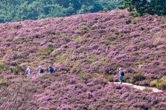 Fotvandra turister på en kulle med den blommande heden i holländsk medborgare Royaltyfria Foton