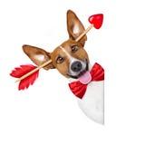 Fou chez le chien de valentines d'amour Image libre de droits