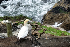 Fou de Bassan adulte se reposant sur la falaise de l'océan pacifique Image stock