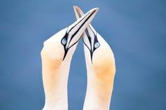 Fou de Bassan du nord, oiseaux dans l'amour Image libre de droits