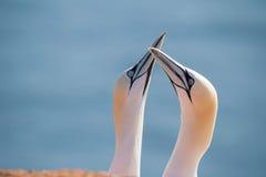 Fou de Bassan du nord, oiseaux dans l'amour Photographie stock libre de droits