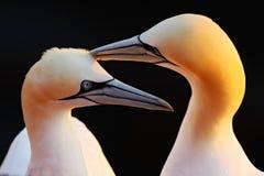 Fou de Bassan du nord, portrait principal de détail avec le soleil de soirée et mer orange-foncé à l'arrière-plan, beaux oiseaux  Image libre de droits
