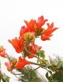 Fouain tree flowers Royalty Free Stock Photography