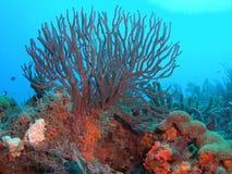 Fouet de mer sur un récif coralien