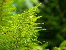Fougère élevant dans la forêt d'été le sun& x27 ; les rayons de s traversent l'usine et fournissent la nuance agréable Photos stock