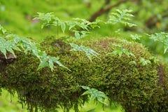 Fougère épiphyte et mousse de tourbe verte fraîche, élevage de mousse de sphaigne Photos stock