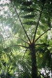 Fougère arborescent Photos libres de droits