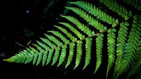 Fougère d'arbre argenté de Dealbata de Cyathea image libre de droits