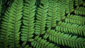 Fougère d'arbre argenté de Dealbata de Cyathea images libres de droits