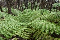 Fougère d'arbre s'élevant dans la forêt tropicale Photographie stock libre de droits