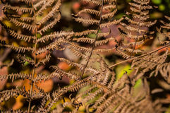 Fougère d'automne Photos libres de droits