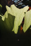 Fougère d'Elkhorn dans une forêt tropicale australienne Photographie stock libre de droits